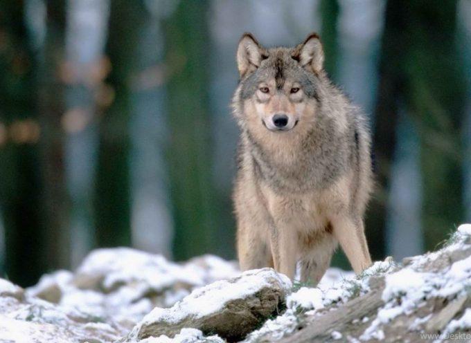 Зороастрийский гороскоп. Волк