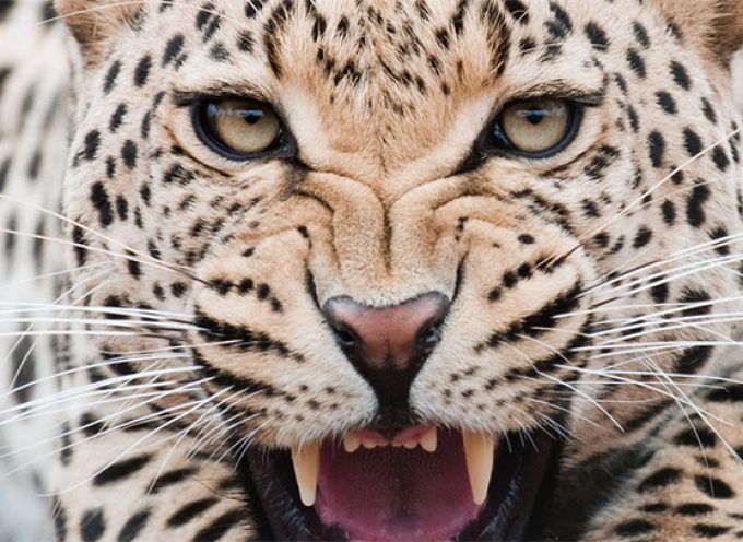 3 лунный день. Леопард