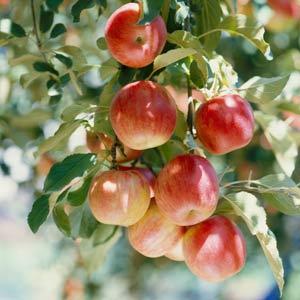 1347216575_apple-tree