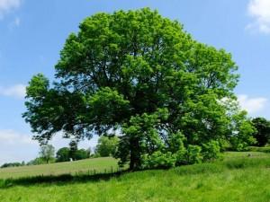 26-ash-tree-alamy