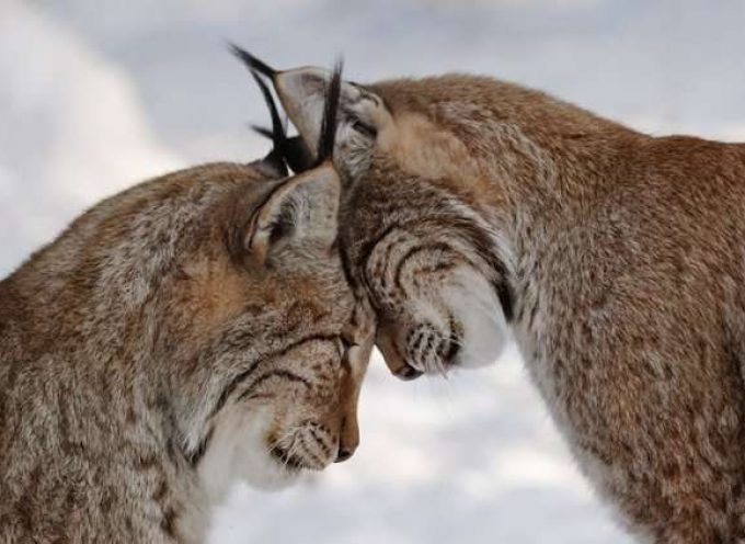 Рысь евразийская или обыкновенная (Lynx lynx)