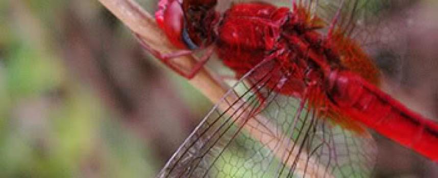 Легенда о красной стрекозе
