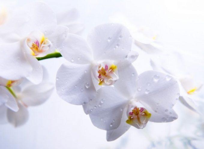 Легенды и мифы о происхождении орхидей