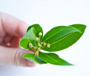 bay-leaf1