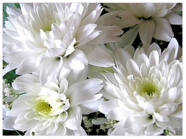 хризантема2