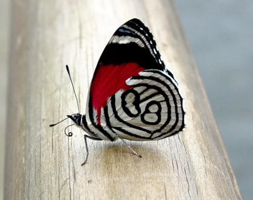 бабочка3
