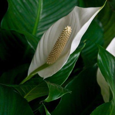 Цветок «Женское счастье» — приметы и практическая польза