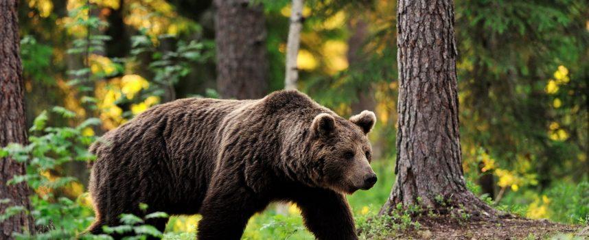 Культ Медведя