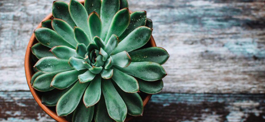 Молодило или каменная роза — приметы и суеверия о комнатном цветке